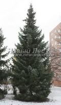 Хвойный крупномер Ель сербская (Picea omorika)