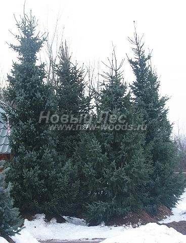 Ель сербская: посадка крупномеров хвойных деревьев