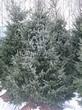 Хвойный крупномер Ель сербская (Picea omorika) - 102