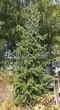 Хвойный крупномер Ель сербская (Picea omorika) - 103