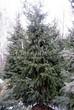 Хвойный крупномер Ель сербская (Picea omorika) - 104