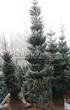 Хвойный крупномер Ель сербская (Picea omorika) - 105