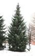 Хвойный крупномер Ель сербская (Picea omorika) - 106