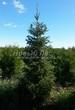Хвойный крупномер Ель сербская (Picea omorika) - 107