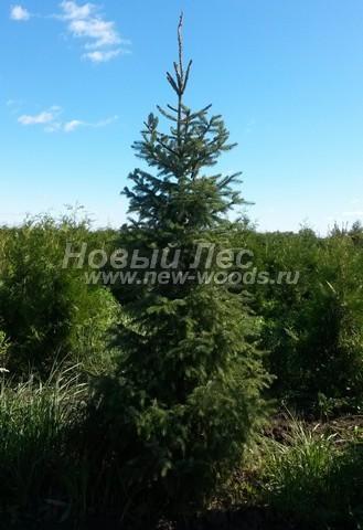 Хвойный крупномер Ель сербская (Picea omorika) - Фото 107 - Крупномер ели Picea omorika, много лет вырастающий в питомнике