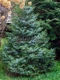 Хвойный крупномер Ель сербская Нана (Picea omorika 'Nana')
