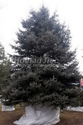 Ель колючая (Ель голубая) (Picea pungens)