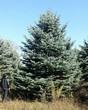 Хвойный крупномер Ель колючая (Ель голубая) (Picea pungens) - 101