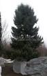 Хвойный крупномер Ель колючая (Ель голубая) (Picea pungens) - 102