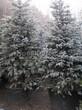 Хвойный крупномер Ель колючая (Ель голубая) (Picea pungens) - 103