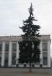 Хвойный крупномер Ель колючая (Ель голубая) (Picea pungens) - 104