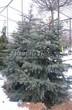 Хвойный крупномер Ель колючая (Ель голубая) (Picea pungens) - 105