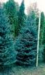 Хвойный крупномер Ель колючая (Ель голубая) (Picea pungens) - 106