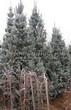Хвойный крупномер Ель колючая (Ель голубая) (Picea pungens) - 107