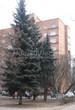 Хвойный крупномер Ель колючая (Ель голубая) (Picea pungens) - 108