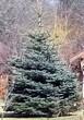 Хвойный крупномер Ель колючая (Ель голубая) (Picea pungens) - 109