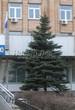 Хвойный крупномер Ель колючая (Ель голубая) (Picea pungens) - 110