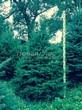 Хвойный крупномер Ель колючая (Ель голубая) (Picea pungens) - 111
