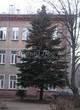 Хвойный крупномер Ель колючая (Ель голубая) (Picea pungens) - 112