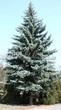 Хвойный крупномер Ель колючая (Ель голубая) (Picea pungens) - 113