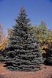 Хвойный крупномер Ель колючая (Ель голубая) (Picea pungens) - 114