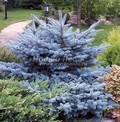 Ель колючая (Ель голубая) Глаука Глобоза (Picea pungens 'Glauca Globosa')