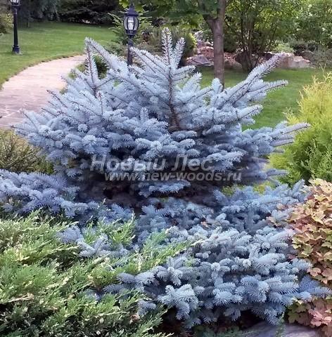 Хвойный крупномер Ель колючая Глаука Глобоза (Picea pungens 'Glauca Globosa')