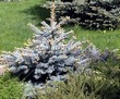 Хвойный крупномер Ель колючая Глаука Глобоза (Picea pungens 'Glauca Globosa') - 101
