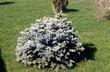 Хвойный крупномер Ель колючая Глаука Глобоза (Picea pungens 'Glauca Globosa') - 102