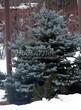 Хвойный крупномер Ель колючая Глаука Глобоза (Picea pungens 'Glauca Globosa') - 103