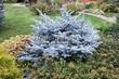 Хвойный крупномер Ель колючая Глаука Глобоза (Picea pungens 'Glauca Globosa') - 104