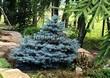 Хвойный крупномер Ель колючая Глаука Глобоза (Picea pungens 'Glauca Globosa') - 105