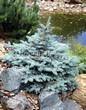 Хвойный крупномер Ель колючая Глаука Глобоза (Picea pungens 'Glauca Globosa') - 107
