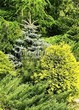 Хвойный крупномер Ель колючая Глаука Глобоза (Picea pungens 'Glauca Globosa') - 108