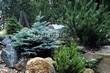 Хвойный крупномер Ель колючая Глаука Глобоза (Picea pungens 'Glauca Globosa') - 109