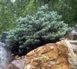 Хвойный крупномер Ель колючая Глаука Глобоза (Picea pungens 'Glauca Globosa') - 110