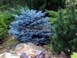 Хвойный крупномер Ель колючая Глаука Глобоза (Picea pungens 'Glauca Globosa') - 111