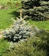 Хвойный крупномер Ель колючая Глаука Глобоза (Picea pungens 'Glauca Globosa') - 112