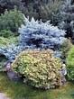 Хвойный крупномер Ель колючая Глаука Глобоза (Picea pungens 'Glauca Globosa') - 113