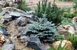 Хвойный крупномер Ель колючая Глаука Глобоза (Picea pungens 'Glauca Globosa') - 114