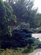 Хвойный крупномер Ель колючая Глаука Глобоза (Picea pungens 'Glauca Globosa') - 115