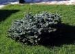 Хвойный крупномер Ель колючая Глаука Глобоза (Picea pungens 'Glauca Globosa') - 116