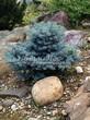 Хвойный крупномер Ель колючая Глаука Глобоза (Picea pungens 'Glauca Globosa') - 117