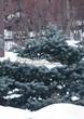 Хвойный крупномер Ель колючая Глаука Глобоза (Picea pungens 'Glauca Globosa') - 118