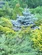 Хвойный крупномер Ель колючая Глаука Глобоза (Picea pungens 'Glauca Globosa') - 119
