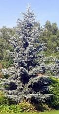 Хвойный крупномер Ель колючая Хупси (Хупсии) (Picea pungens 'Hoopsii')