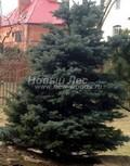 Хвойный крупномер Ель колючая Костер (Picea pungens 'Koster')