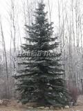 Хвойный крупномер Ель колючая форма сизая (Picea pungens f. glauca)
