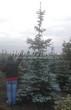 Хвойный крупномер Ель колючая форма сизая (Picea pungens f. glauca) - 101