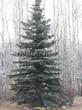 Хвойный крупномер Ель колючая форма сизая (Picea pungens f. glauca) - 102